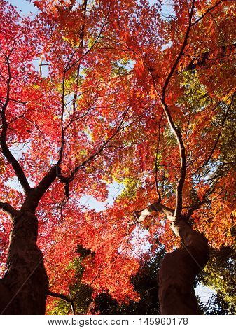 Beautiful view above of autumn red Japanese maple leaves, illuminated by sunlight.