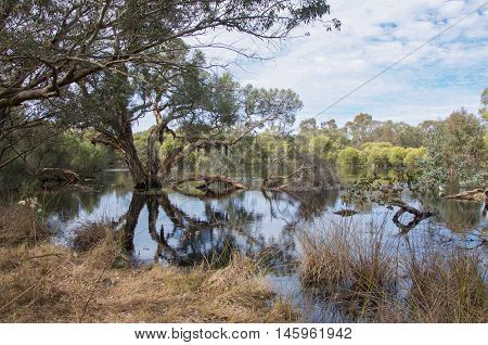 Lush wetland reserve with paperbark trees and wild ducks in the calm waters under a cloudy sky in Bibra Lake, Western Australia.