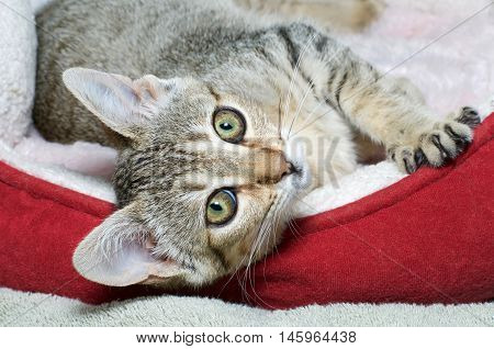 Three month old gray and brown striped tabby cat laying sideways in red and cream colored bed. Looking at viewer.