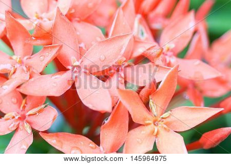 Close up ixora flower with rain water