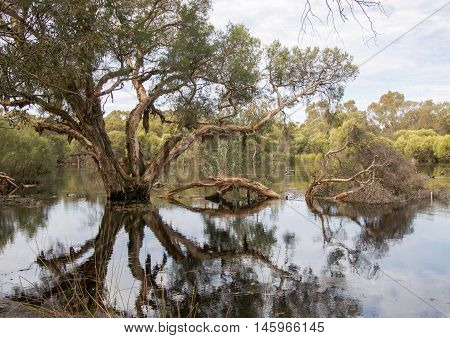 Lush wetland reserve paperbark tree reflections in the calm waters in Bibra Lake, Western Australia.