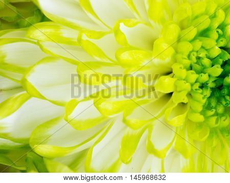 Extreme close up macro image of Green Chrysanthemum Flower. Detail of Lime Green Chrysanthemum Flower
