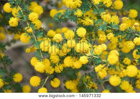 Closeup of vivid yellow acacia, or golden wattle, growing wild in natural bushland reserve in Bibra Lake, Western Australia.