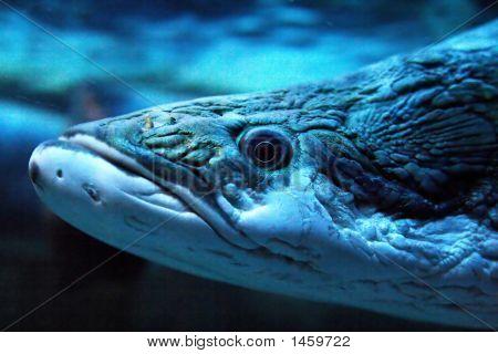 Predacious Fish