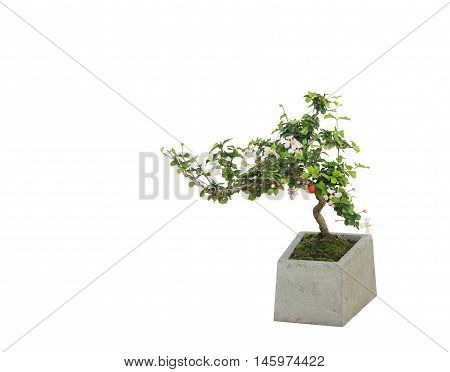 Bonsai In Modern Concrete Pot Isolated With Clipping Path