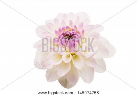 Studio Shot of White Color Dahlia Isolated on White Background. Macro. Symbol of Elegance Dignity and Good Taste.