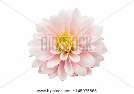 Studio Shot of White Color Dahlia Isolated on White Background. Symbol of Elegance Dignity and Good Taste.