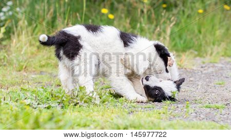 Two Playful Border Collie Puppies