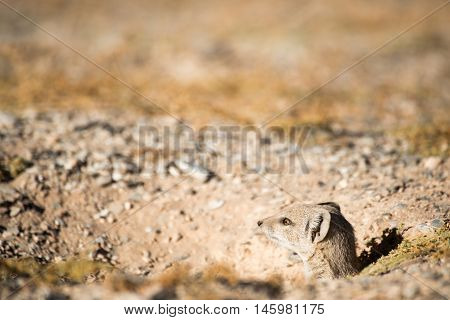 Mongoose Sticking Head Out Of Hole