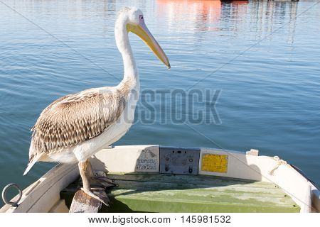 Young Pelican On Edge Of Dingy