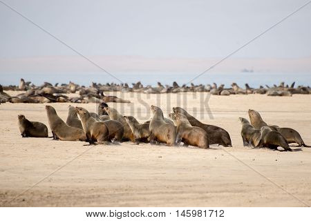 Cape Fur Seals Running For Water