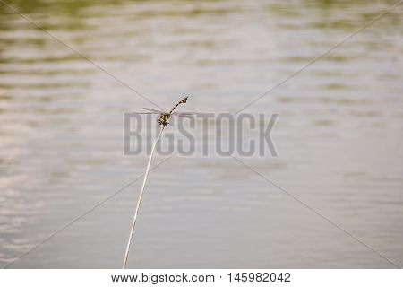 Dragonfly caught dead branches in the evening on water