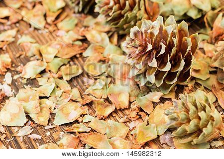Opened green spruce cones. Placer spruce husks and seeds. Abstract background.