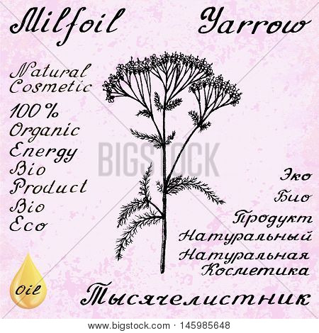 Yarrow Achillea millefolium hand drawn sketch botanical illustration. Vector illustation. Medical herbs. Lettering in English and Russian languages. Grunge background. Oil drop