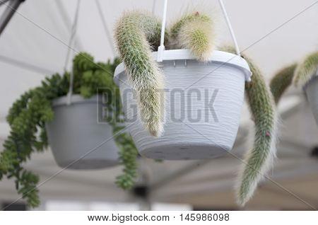 cactus flower in a hanging flowerpot outdoor