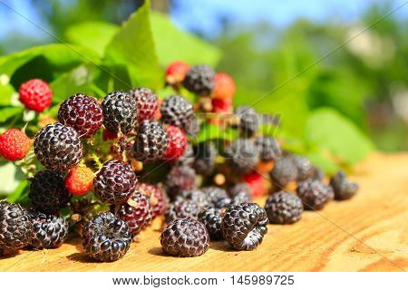crop of black raspberry with ripe berries and leaves