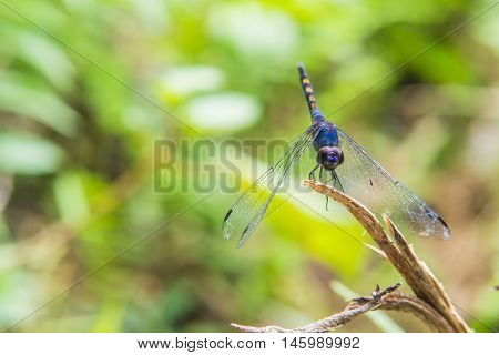 Purple dragonfly perched on twigs in sun light