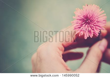 Pink flower in a hand close-up (vintage)