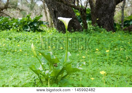 Wild calla lily amongst wild flowering grasses with heart-shaped white blossom and buds and lush foliage in the background in Bibra Lake, Western Australia