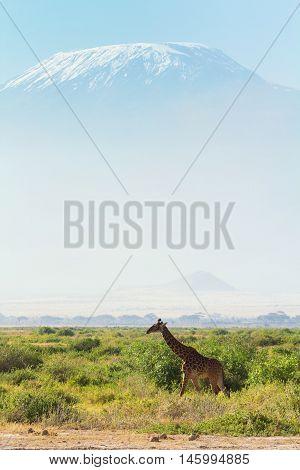 Giraffes in front of Kilimanjaro at the background shot at Amboseli national park Kenya. Vertical shot