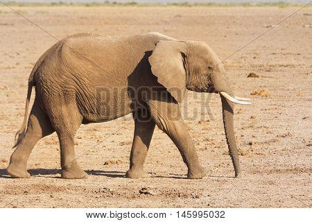 Elephant walking alone in Amboseli National Park Kenya