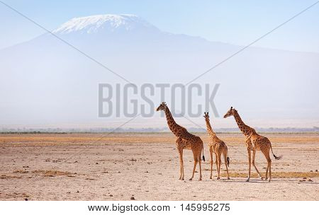 Three giraffes in front of Kilimanjaro at the background shot at Amboseli national park Kenya. Horizontal shot