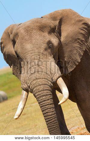 Close up elephant portrait in Amboseli National Park Kenya. Vertical shot