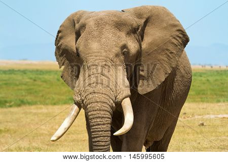 Elephant portrait in Amboseli National Park Kenya. Horizontal shot