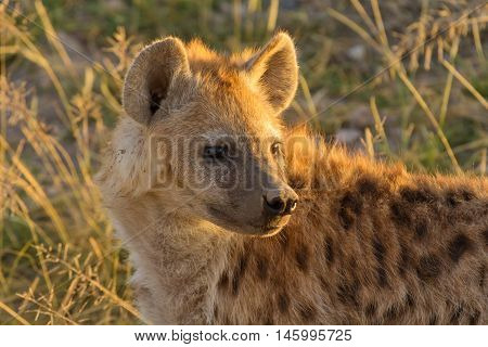 Young hyena just come out from their hole in the early morning Masai Mara