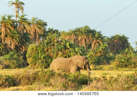 Portrait of elephant in front of trees in Amboseli National park Kenya