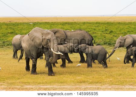 Group of young and old elephants in Amboseli National Park Kenya.