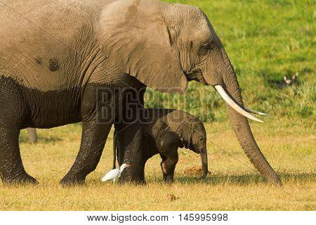 Portrait of mother and baby elephant walking in Amboseli National Park Kenya.