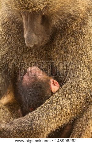 Baby baboon feeding while the mother watches it. Shot in Masai Mara Kenya. Close up.