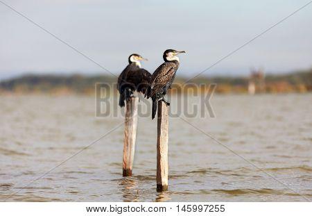 Cormorants on a tree near Naivasha Lake Kenya