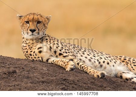 Male cheetah sitting in grass and looking for its pray in Masai Mara Kenya