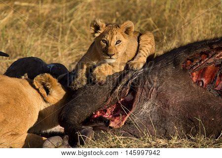 Lioness with cub eating a buffalo corps at sunset in Masai Mara Kenya