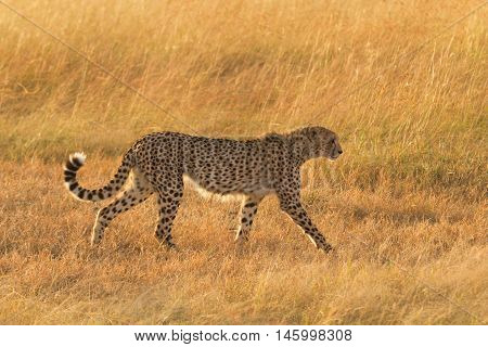 Male cheetah walking in grass and looking for its pray in Masai Mara Kenya. Side view