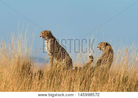 Two male cheetahs walking in grass and looking for its pray in Masai Mara Kenya