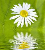 image of chloroplast  - The camomile floats in water on a background of a green sheet - JPG
