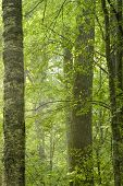 Old Natural Forest In The Summer poster