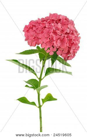Hydrangea macrophylla flower isolated on white background