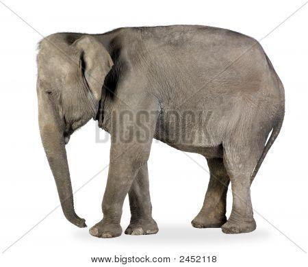 Asian Elephant - Elephas Maximus (40 Years)