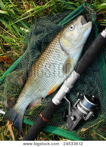 Picture of a trophy fish. The Big European Chub (Squalius cephalus) on a landing net.