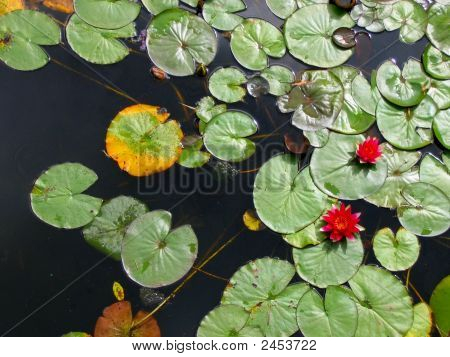 Canadian Lillypads