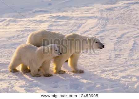 Polar Bear With Her Cub
