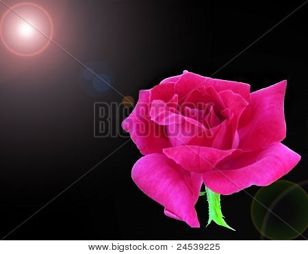 Pink Rose in Flares