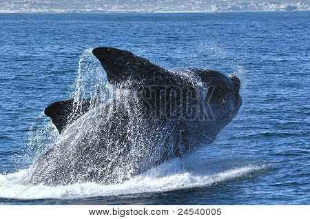 SR Whale Breach at de Kelders