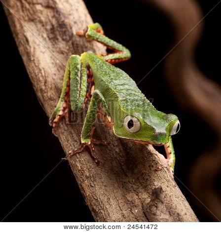 frog with big eyes on branch of a tropical tree in amazon rainforest. Macro of beautiful night animal in rain forest jungle of south america.