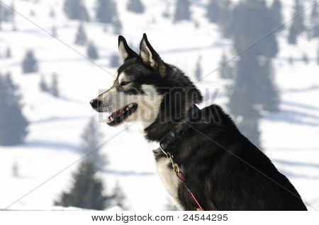 Nice nordic dog in the snow