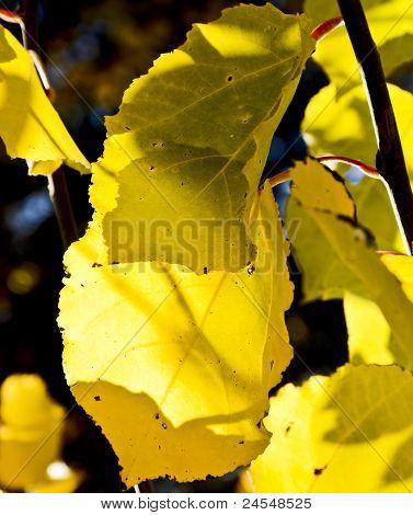 Aspen Tree Leaves